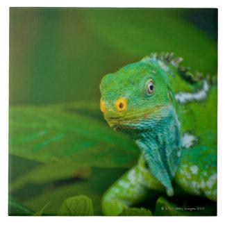 Fiji crested la iguana, parque de Kula Eco, Viti L Azulejo Cerámica
