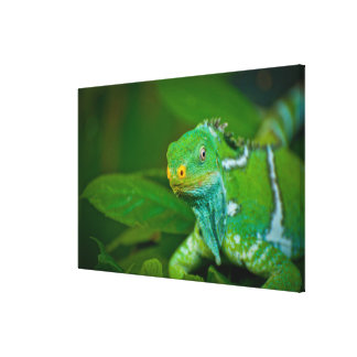 Fiji crested la iguana, parque de Kula Eco, Viti L Impresiones En Lienzo Estiradas