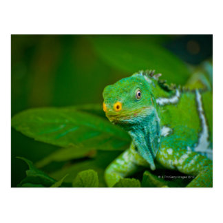 Fiji crested la iguana, parque de Kula Eco, Viti Postales