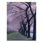 Fila de los árboles del cherryblossom postales