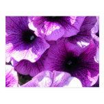 Fila de petunias púrpuras tarjetas postales
