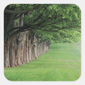 Fila majestuosa de árboles, Louisville, Kentucky Pegatina Cuadrada