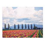 Filas de las flores mezcladas de los tulipanes postales