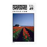 Filas rectas de las flores rojas de los tulipanes