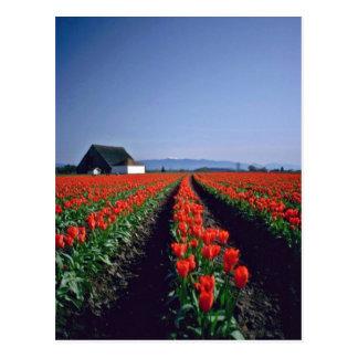 Filas rectas de las flores rojas de los tulipanes  postales