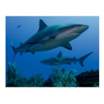 Filón del Caribe Shark Jardines de la Reina Postal