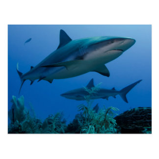 Filón del Caribe Shark Jardines de la Reina Tarjeta Postal