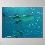 Filón del tiburón posters