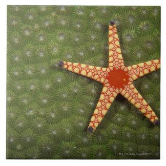 Filones de la limpieza de la estrella de mar comie azulejo cuadrado grande
