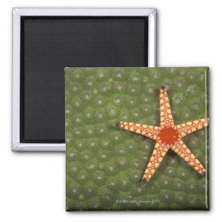 Filones de la limpieza de la estrella de mar comie imán de frigorifico