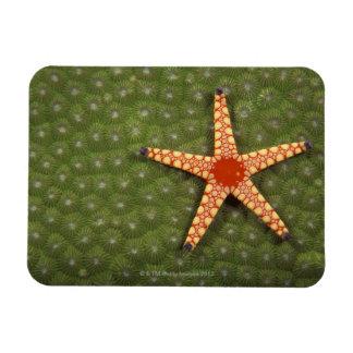 Filones de la limpieza de la estrella de mar comie imán rectangular