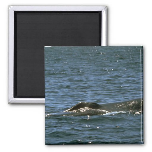 Fin whale 2 inch square magnet