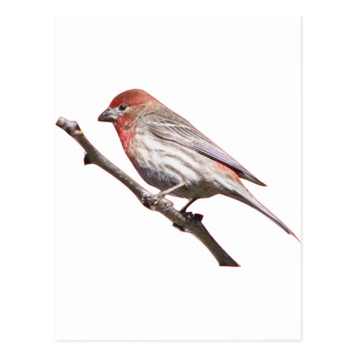 Finch on a branch postcard