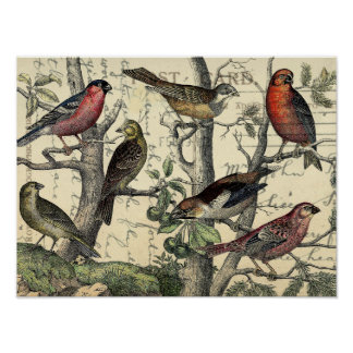 Finches Looking Poster