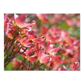 Fine Art Photography Pink Dogwood Flowers Floral Photo