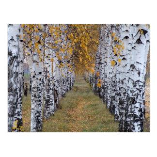 Finland Birch Forest Postcard