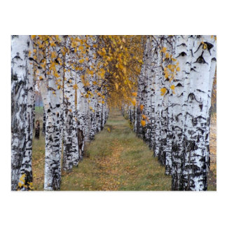 Finland Birch Forest Post Cards