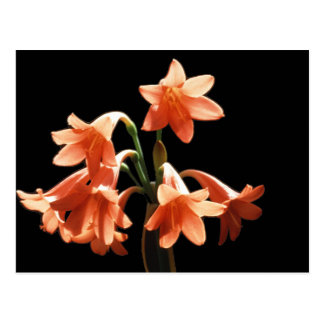 Fire Lily, a Cyrtanthus Hybrid Postcard