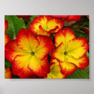 Fire Primula (Primula Polyanthus) Poster