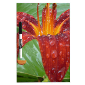fire red and orange lily w/ dew dry erase boards