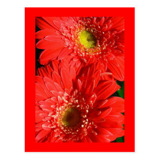 Fire Red Gerbera Postcard