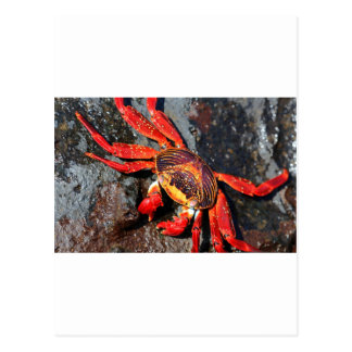Fire red sally lightfoot crab post card
