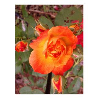 Fire Rose Postcard
