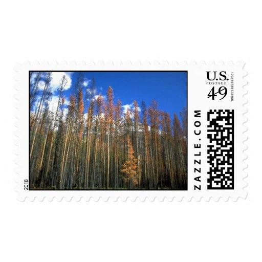 Fire scorched forest in Banff National Park, Alber Stamp