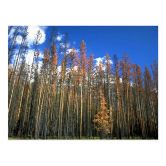 Fire scorched forest in Banff National Park, Alber Postcard