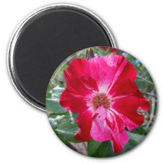 Firecracker Rose ~ Single Bloom 2 Inch Round Magnet