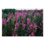 Fireweed Posters