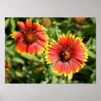 Firewheel - Sundance Wildflower Print