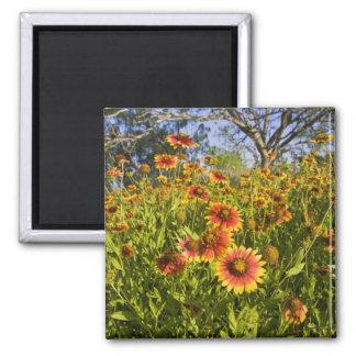 Firewheels Gaillardia pulchella) wildflowers Magnet