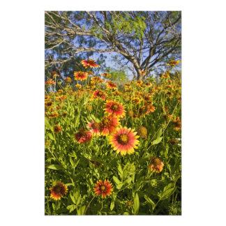 Firewheels Gaillardia pulchella) wildflowers Photo