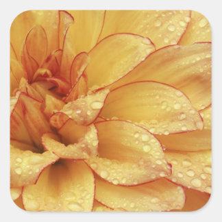 Firmemente en fotografías de la flor de Dalhia con Pegatina Cuadrada