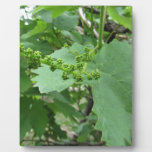 First buds on white mulberry tree ( Morus alba ) Plaque