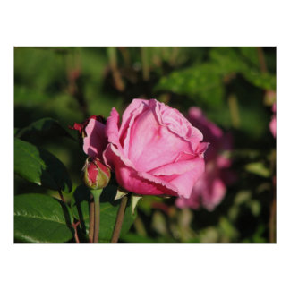 First Light Shrub Rose 077 Posters