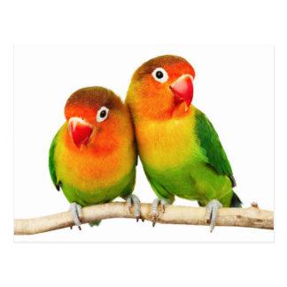 Fischer's lovebird (Agapornis fischeri) Postcard
