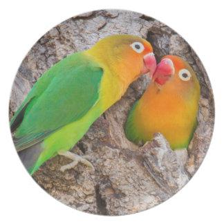 Fischer's Lovebirds kissing, Africa Plate