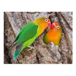 Fischer's Lovebirds kissing, Africa Postcard