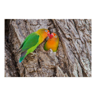 Fischer's Lovebirds kissing, Africa Poster