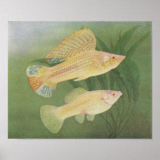 Fish - Albino Mollies - Poecilia latipinna P/folio Poster