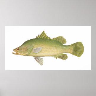 Fish - Barramundi - Lates calcarifer Poster