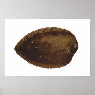 Fish - Black Sole - Synaptura nigra Posters