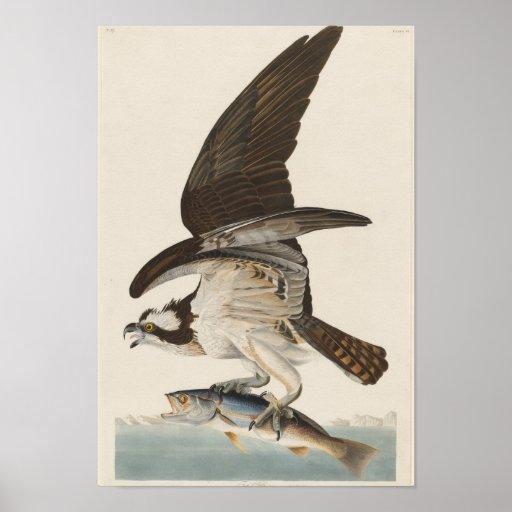 Fish hawk  Osprey Nature Print