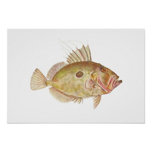 Fish john dory zeus faber poster zazzle for Picture of dory fish
