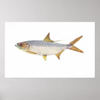 Fish - Ox-Eye Herring - Megalops cyprinoides Poster