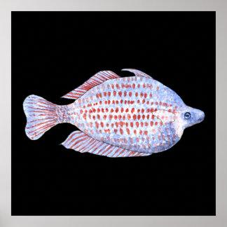 Fish. Red Line Rainbowfish. Poster