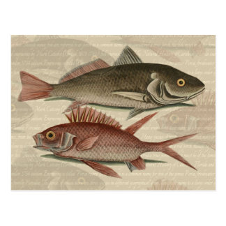 fish red perch Vintage fisherman gift Post Card