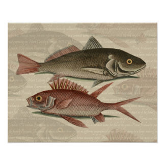 fish red perch Vintage fisherman gift Posters